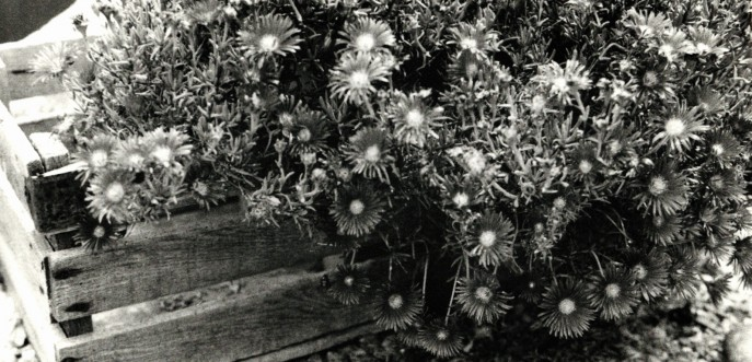 Photo noir et blanc d'une cagette de fleurs, Vaucluse