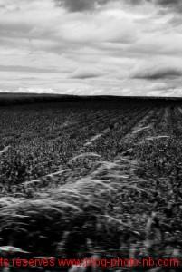 Champ de maïs en Haute Saône