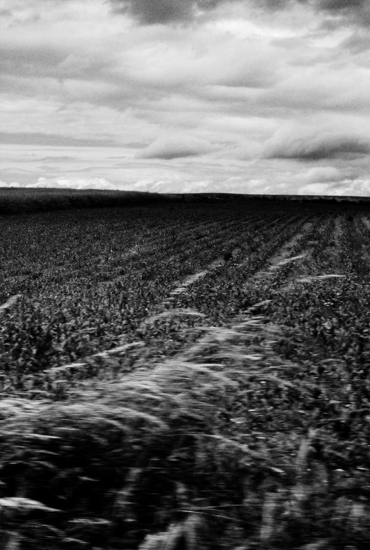 Photo noir et blanc de champ de maïs, Haute Saône