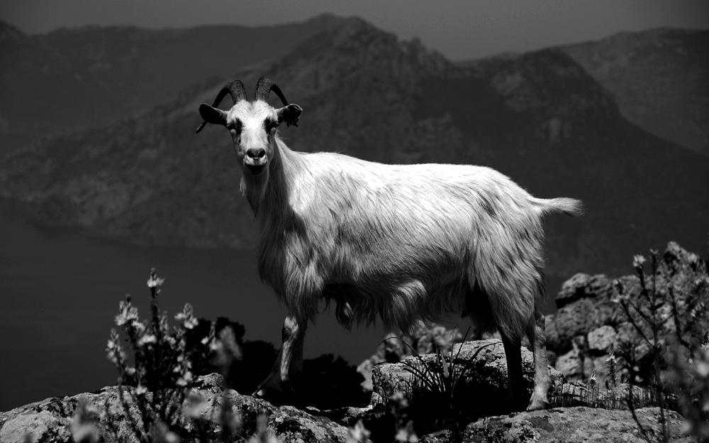 Photo noir et blanc de chèvres en liberté - Corse, vers Piana