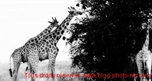 Girafes dans la réserve naturelle de Waza - nord Cameroun