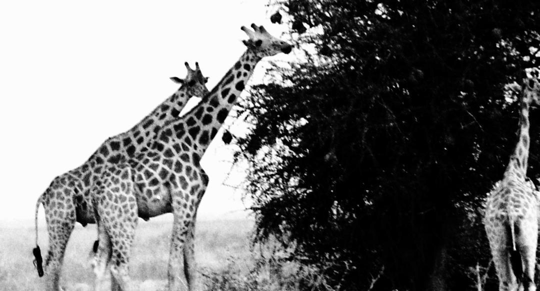 Photos noir et blanc de girafes, Waza - nord Cameroun