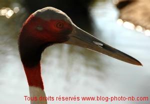 Une jolie grue à tête rouge au Parc des Oiseaux de Villars les Dombes