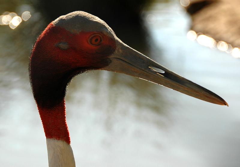 Grue à tête rouge (parc des oiseaux, Villars les Dombes)