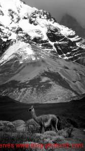 Un lama dans son milieu naturel : les montagnes, Argentine
