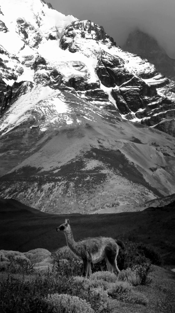 Photo noir et blanc d'un lama, Chili
