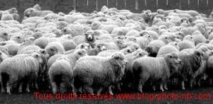 Elevage de moutons dans le sud de l'Argentine