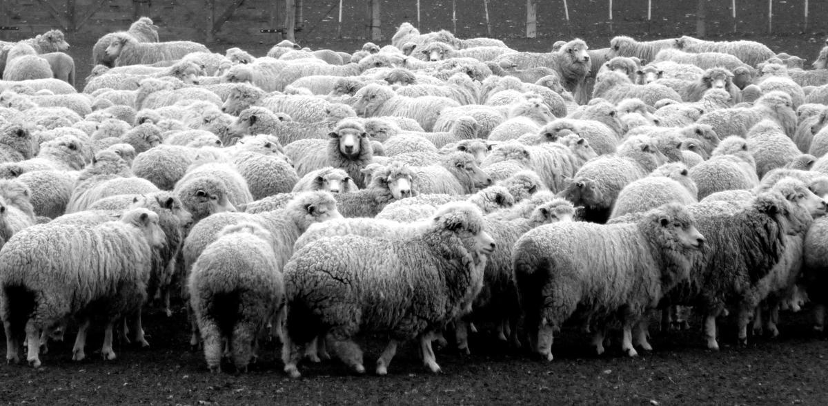 Photo noir et blanc dun élevage de moutons, Argentine