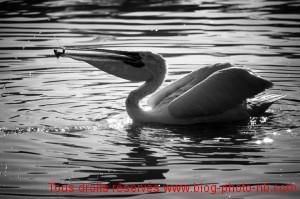 Pélican en pleine partie de pêche - Parc des Oiseaux, Villars les Dombes