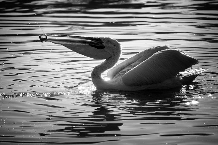 Photo noir et blanc de pélican