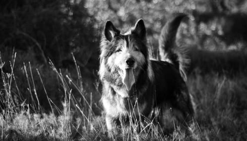 Photo noir et blanc de chien dans la nature