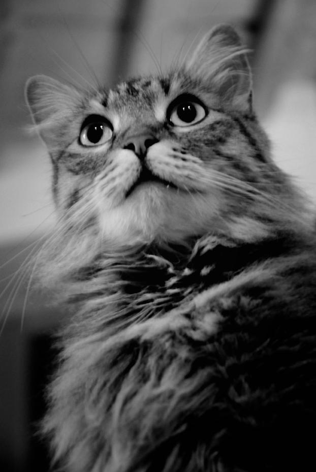 portrait de chat en noir et blanc madame punky photos noir et blanc. Black Bedroom Furniture Sets. Home Design Ideas